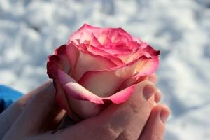 rose-1246479_1280_pixabay
