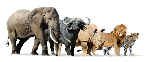Big Five Afrika Tiere
